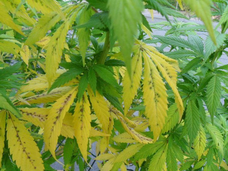 Yellow Leaves On Weed Plant - Budapestsightseeing org